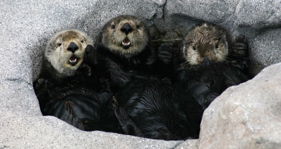 otters_three