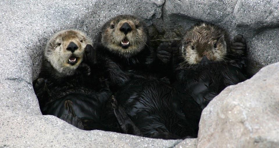 otters_three
